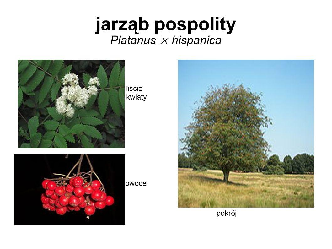 jarząb pospolity Platanus × hispanica