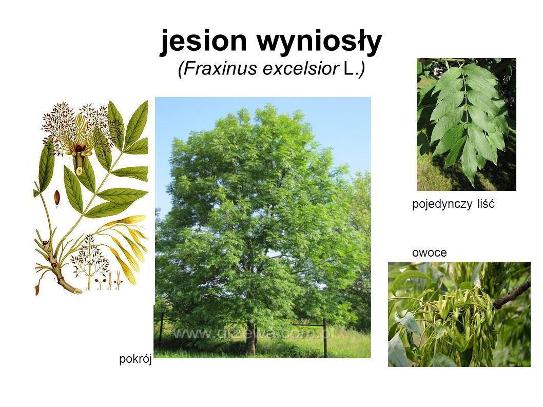 jesion wyniosły (Fraxinus excelsior L.)