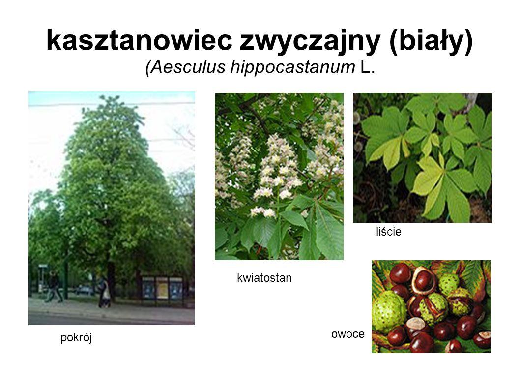kasztanowiec zwyczajny (biały) (Aesculus hippocastanum L.