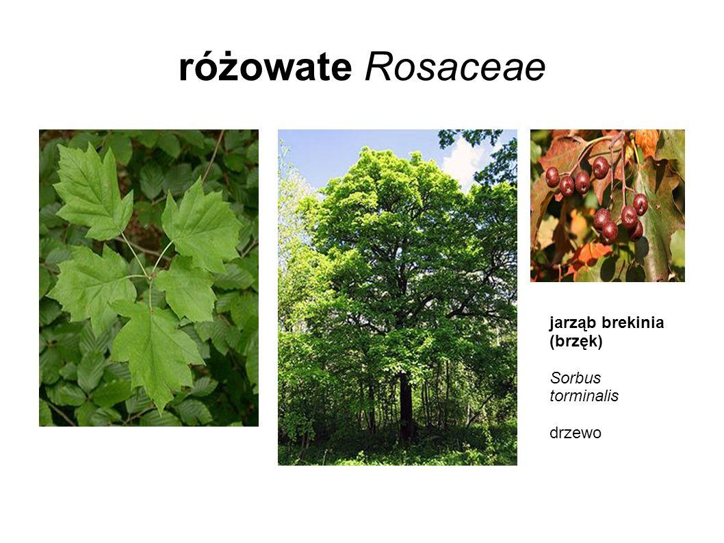 różowate Rosaceae jarząb brekinia (brzęk) Sorbus torminalis drzewo