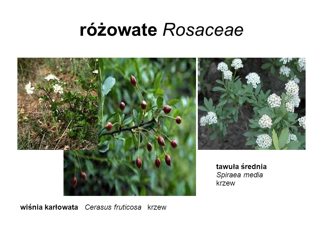 różowate Rosaceae tawuła średnia Spiraea media krzew
