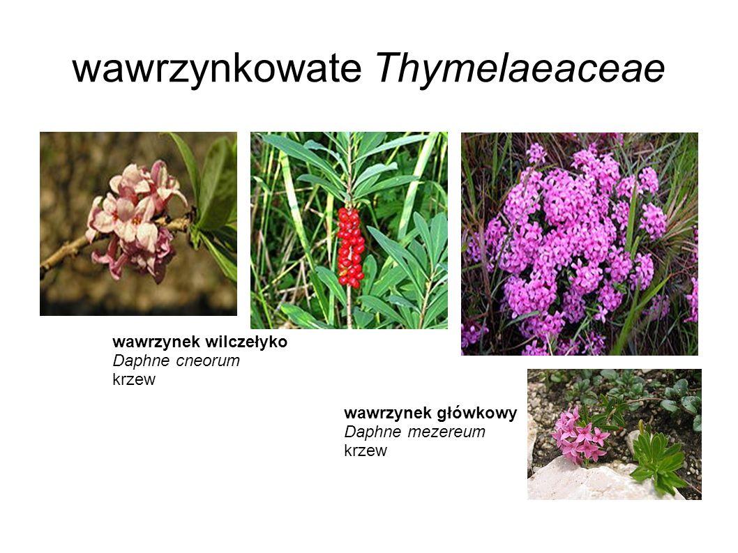 wawrzynkowate Thymelaeaceae