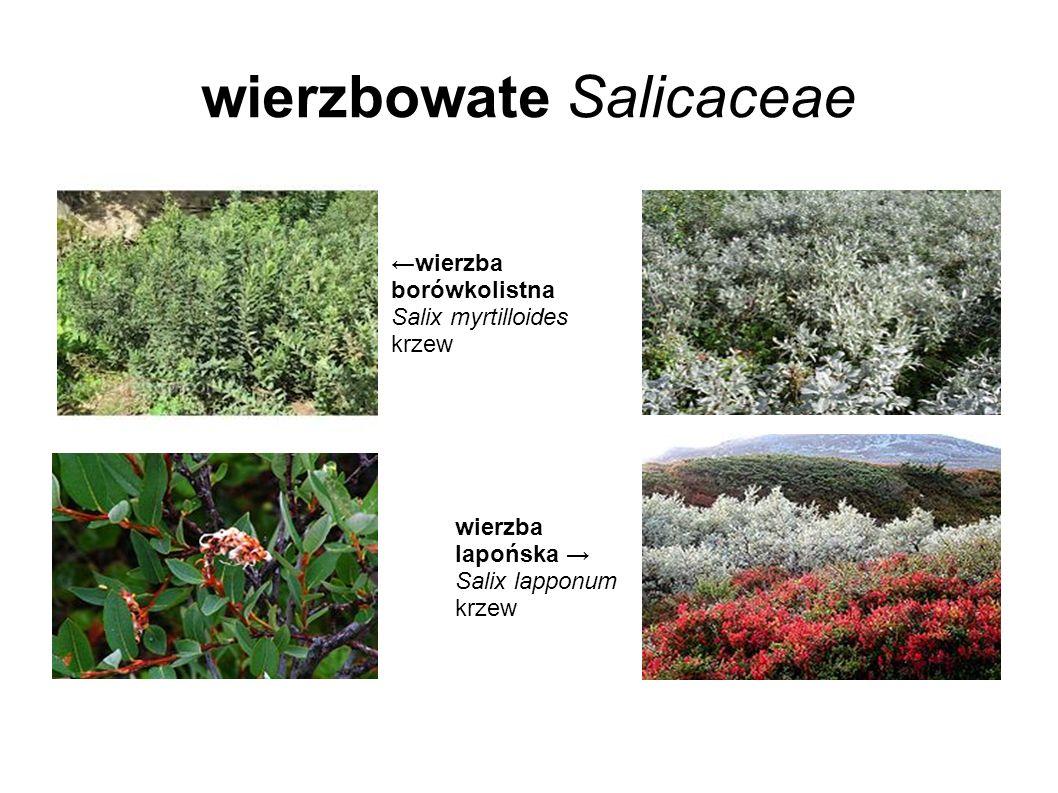 wierzbowate Salicaceae