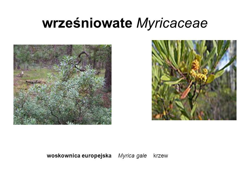 wrześniowate Myricaceae