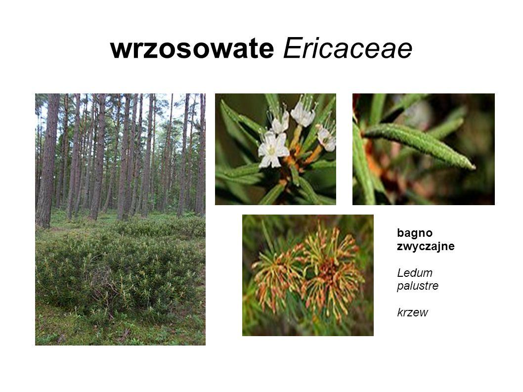wrzosowate Ericaceae bagno zwyczajne Ledum palustre krzew