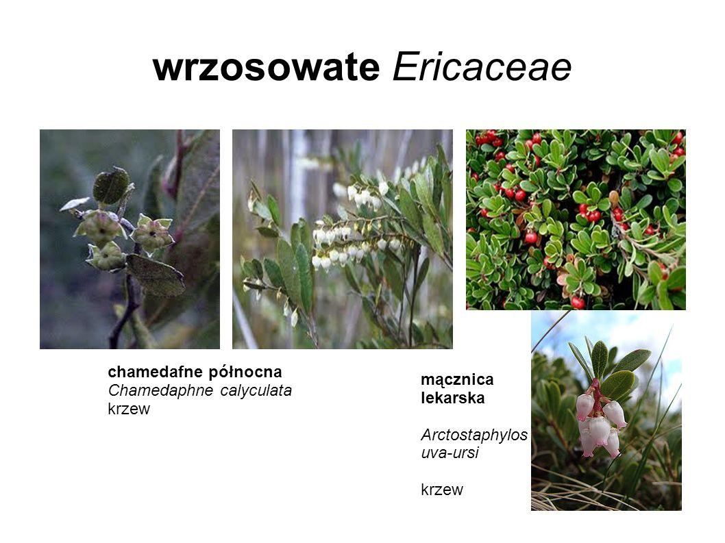 wrzosowate Ericaceae chamedafne północna Chamedaphne calyculata