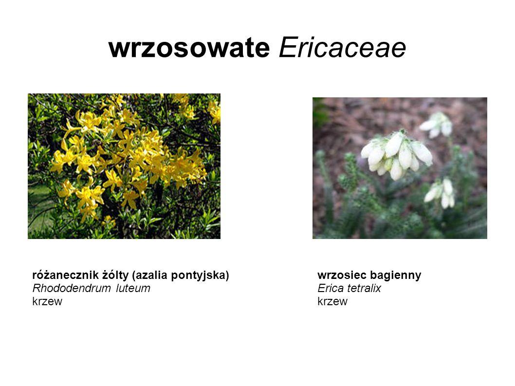 wrzosowate Ericaceae różanecznik żólty (azalia pontyjska)