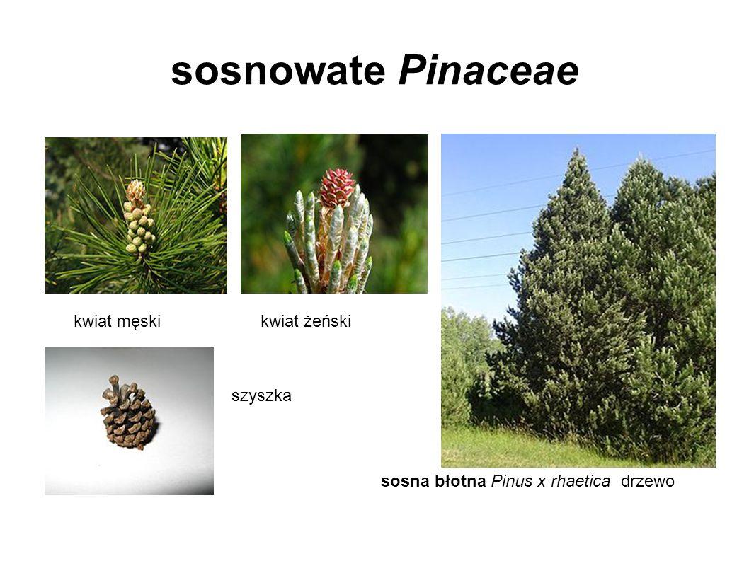 sosnowate Pinaceae kwiat męski kwiat żeński szyszka