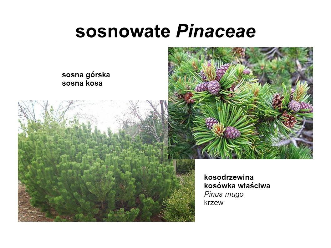 sosnowate Pinaceae sosna górska sosna kosa kosodrzewina