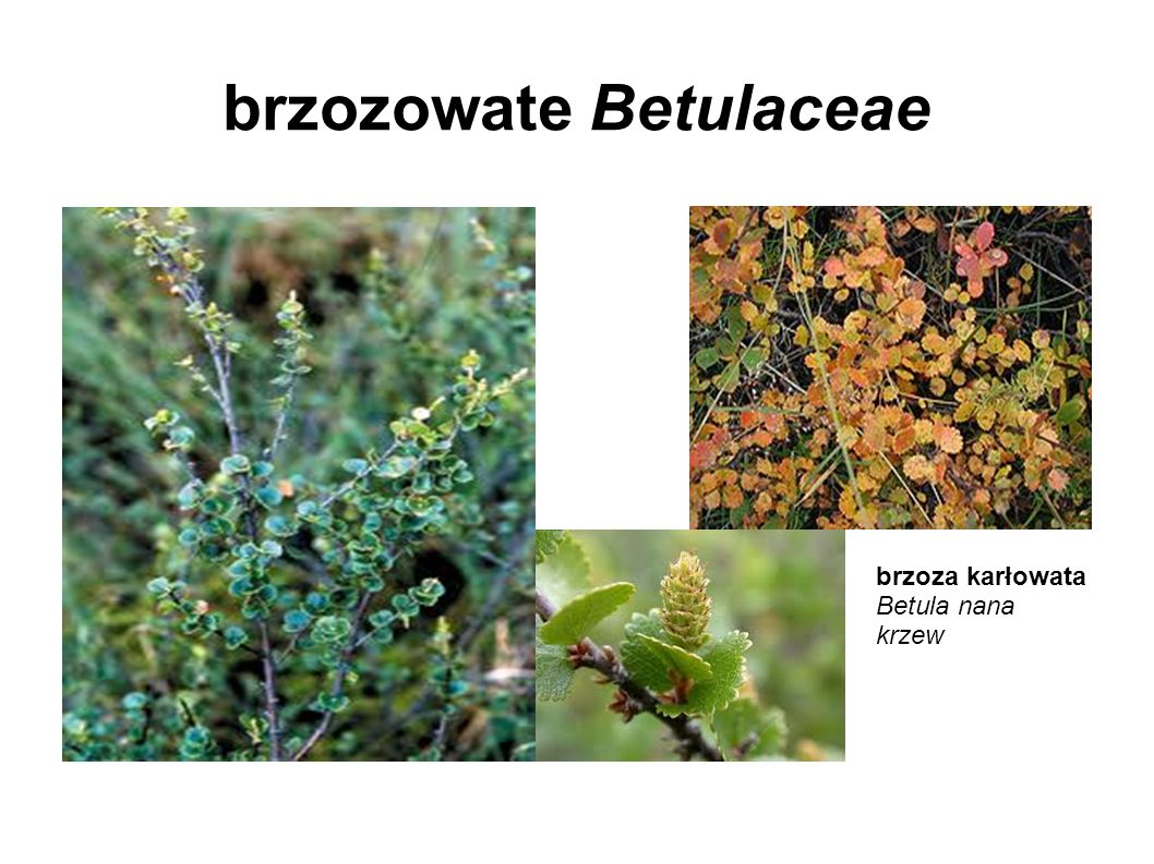 brzozowate Betulaceae