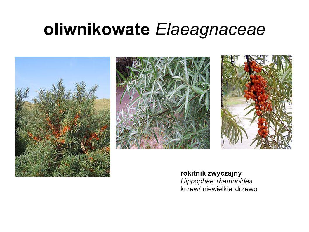oliwnikowate Elaeagnaceae