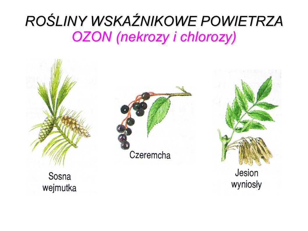 ROŚLINY WSKAŹNIKOWE POWIETRZA OZON (nekrozy i chlorozy)