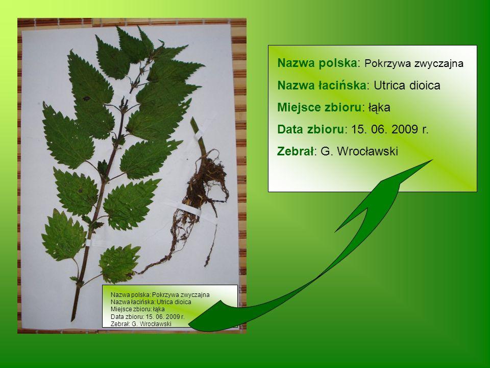 Nazwa polska: Pokrzywa zwyczajna Nazwa łacińska: Utrica dioica