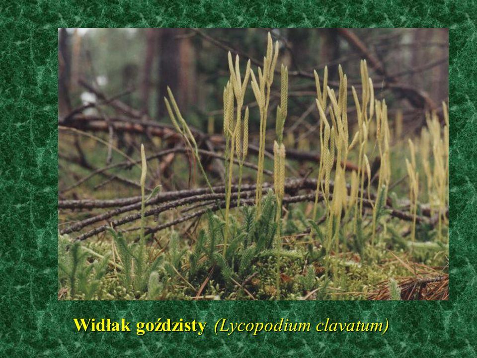 Widłak goździsty (Lycopodium clavatum)