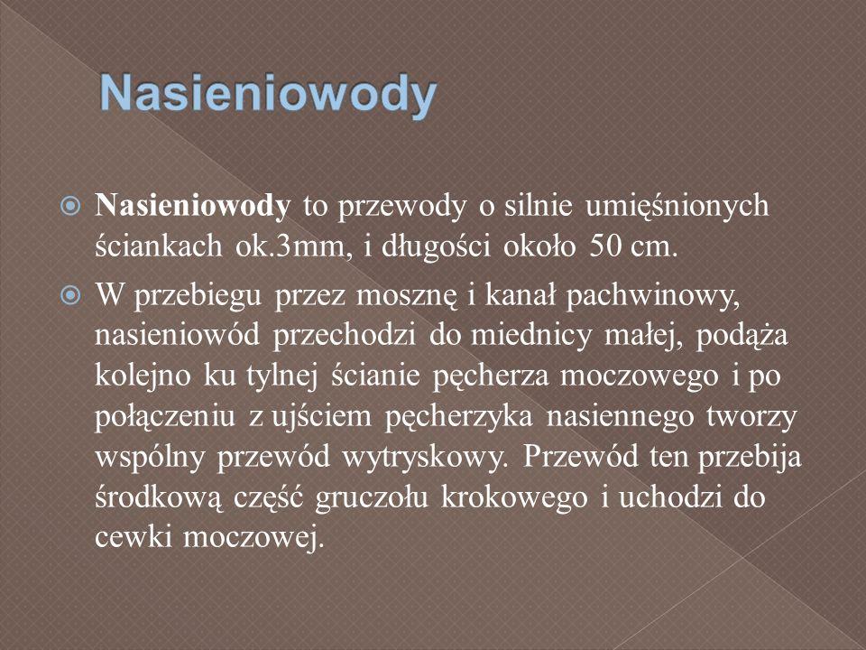 Nasieniowody Nasieniowody to przewody o silnie umięśnionych ściankach ok.3mm, i długości około 50 cm.