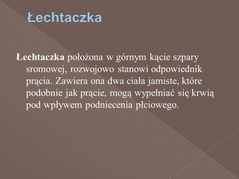 Łechtaczka