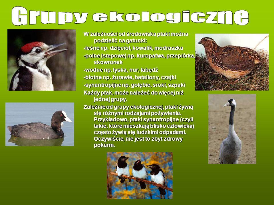 Grupy ekologiczne W zależności od środowiska ptaki można podzielić na gatunki: -leśne np. dzięcioł, kowalik, modraszka.