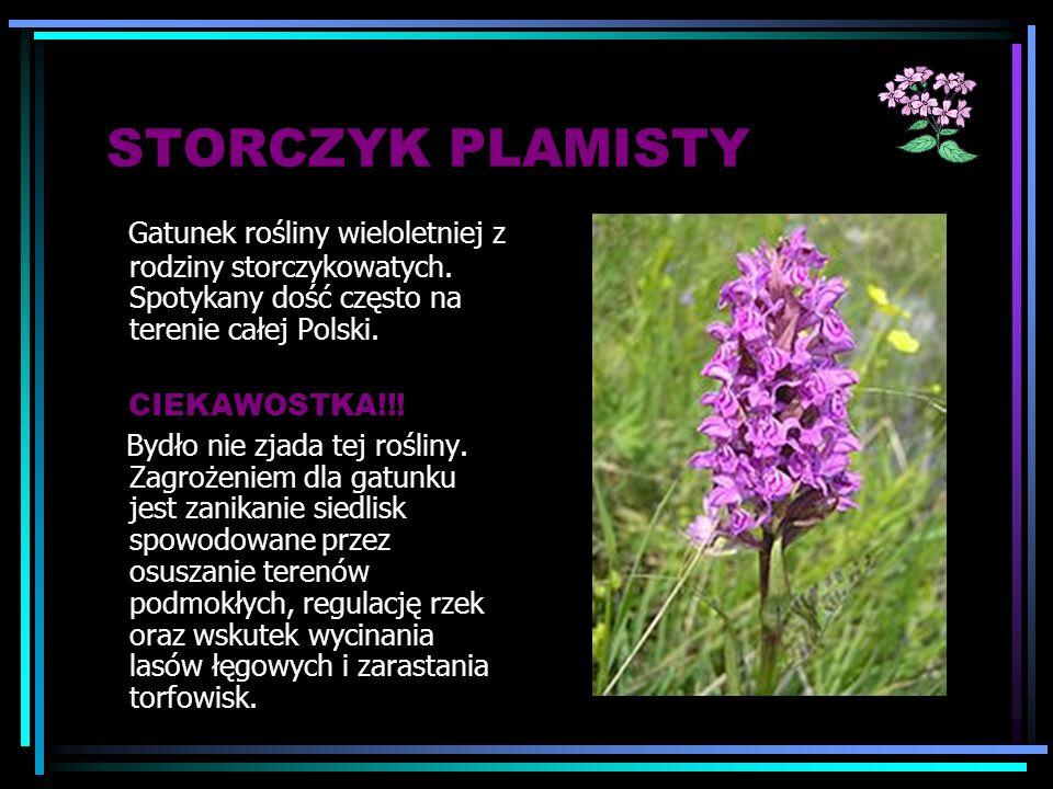 STORCZYK PLAMISTY Gatunek rośliny wieloletniej z rodziny storczykowatych. Spotykany dość często na terenie całej Polski.