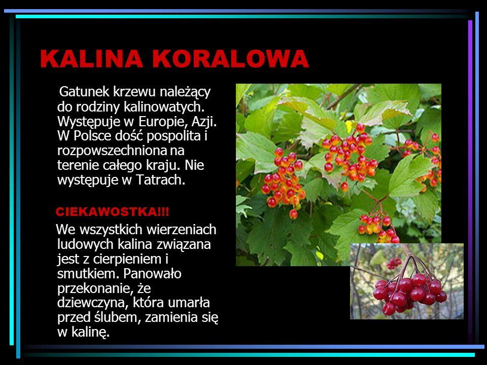 KALINA KORALOWA