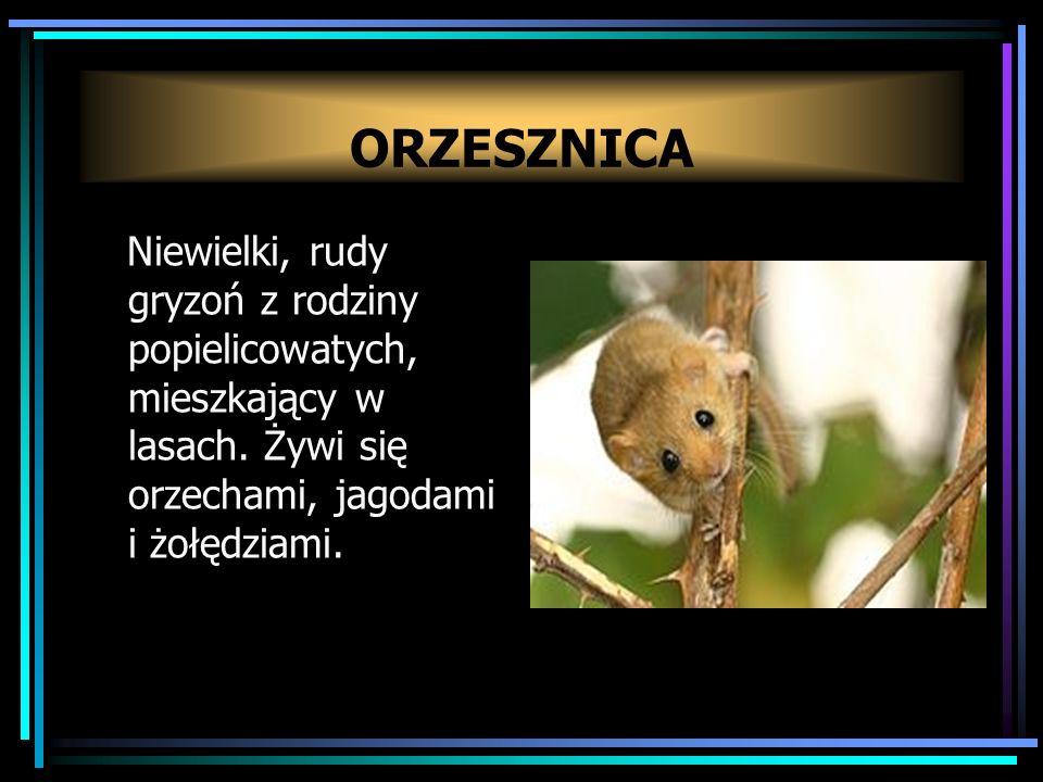 ORZESZNICA Niewielki, rudy gryzoń z rodziny popielicowatych, mieszkający w lasach.