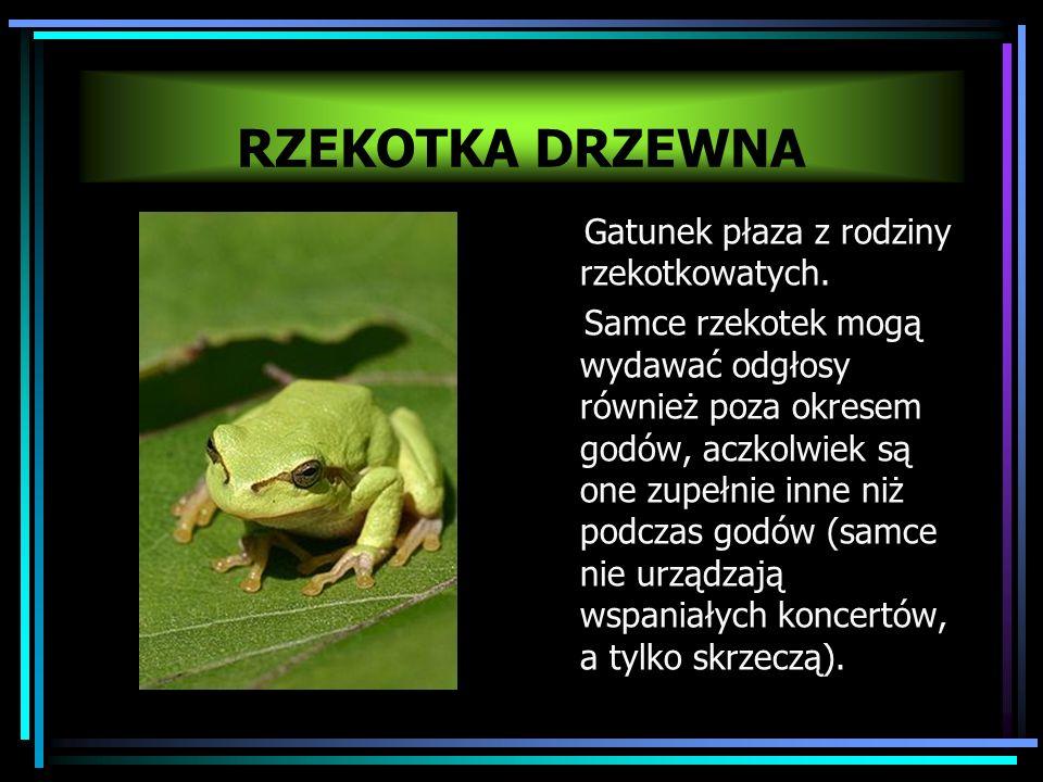 RZEKOTKA DRZEWNA Gatunek płaza z rodziny rzekotkowatych.
