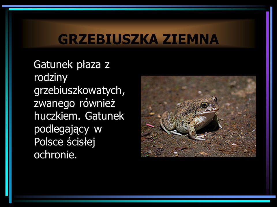 GRZEBIUSZKA ZIEMNA Gatunek płaza z rodziny grzebiuszkowatych, zwanego również huczkiem.