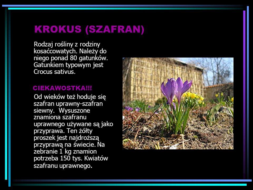 KROKUS (SZAFRAN) Rodzaj rośliny z rodziny kosaćcowatych. Należy do niego ponad 80 gatunków. Gatunkiem typowym jest Crocus sativus.