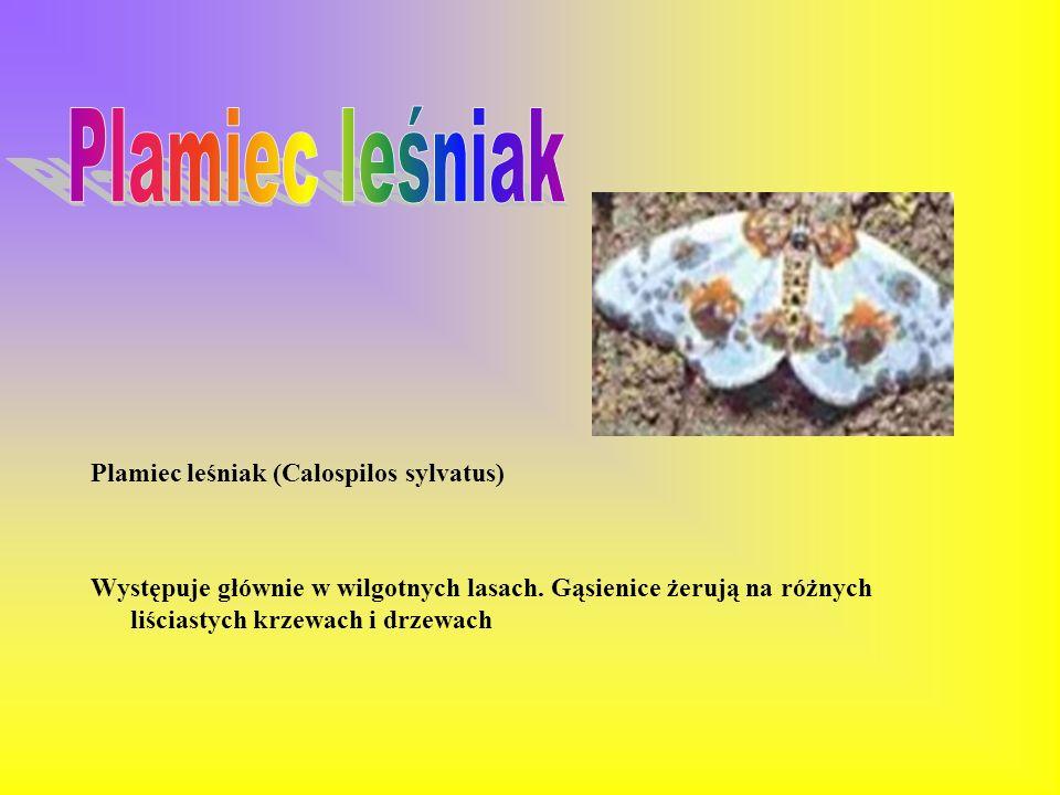 Plamiec leśniak Plamiec leśniak (Calospilos sylvatus)
