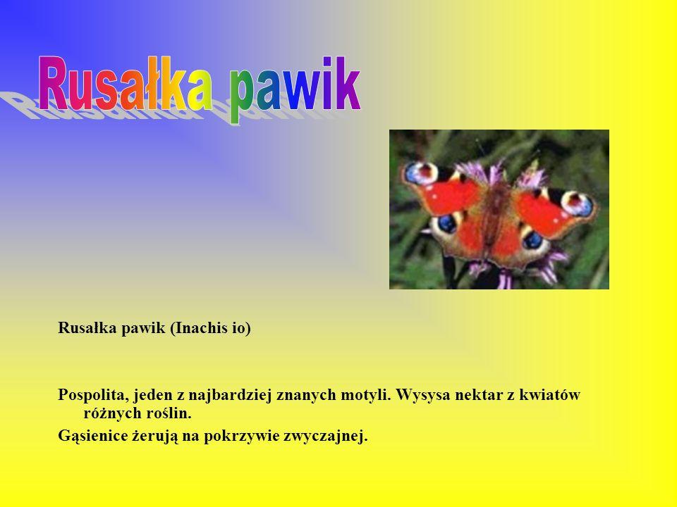 Rusałka pawik Rusałka pawik (Inachis io)