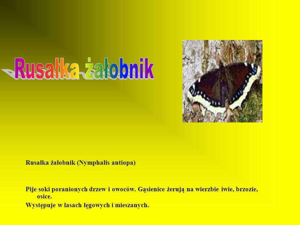 Rusałka żałobnik Rusałka żałobnik (Nymphalis antiopa)