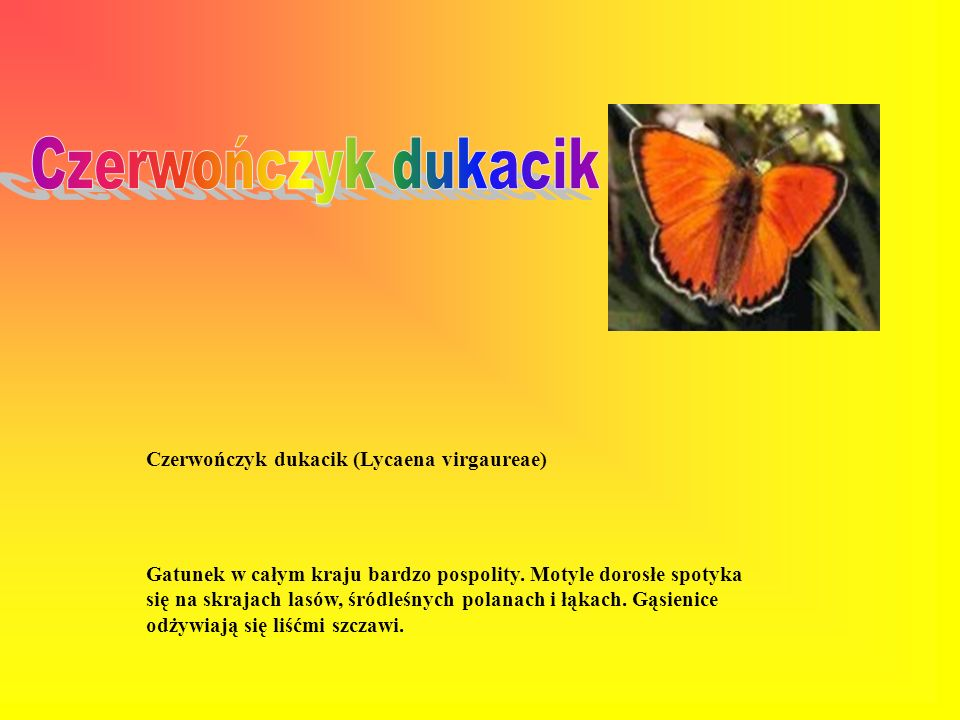 Czerwończyk dukacik Czerwończyk dukacik (Lycaena virgaureae)