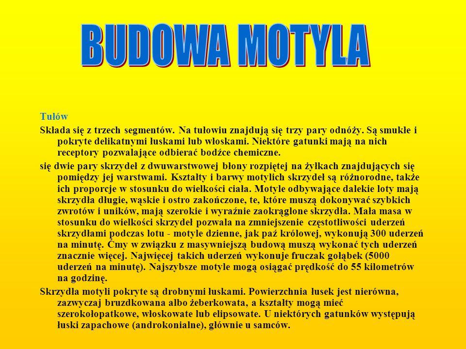 BUDOWA MOTYLA Tułów.