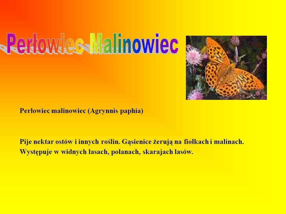 Perłowiec Malinowiec Perłowiec malinowiec (Agrynnis paphia)
