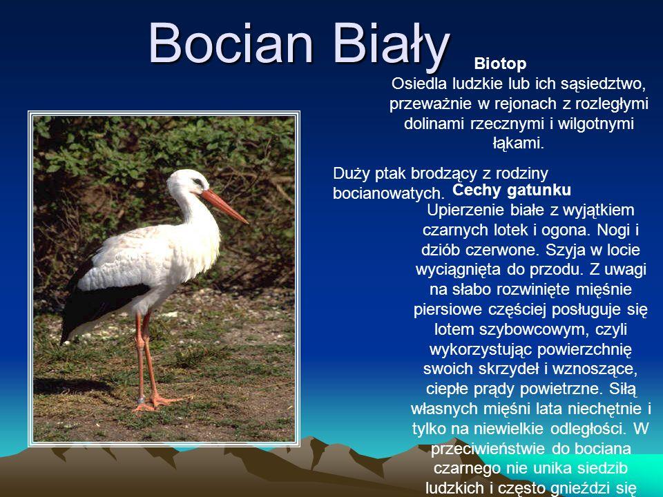 Bocian Biały Biotop Osiedla ludzkie lub ich sąsiedztwo, przeważnie w rejonach z rozległymi dolinami rzecznymi i wilgotnymi łąkami.