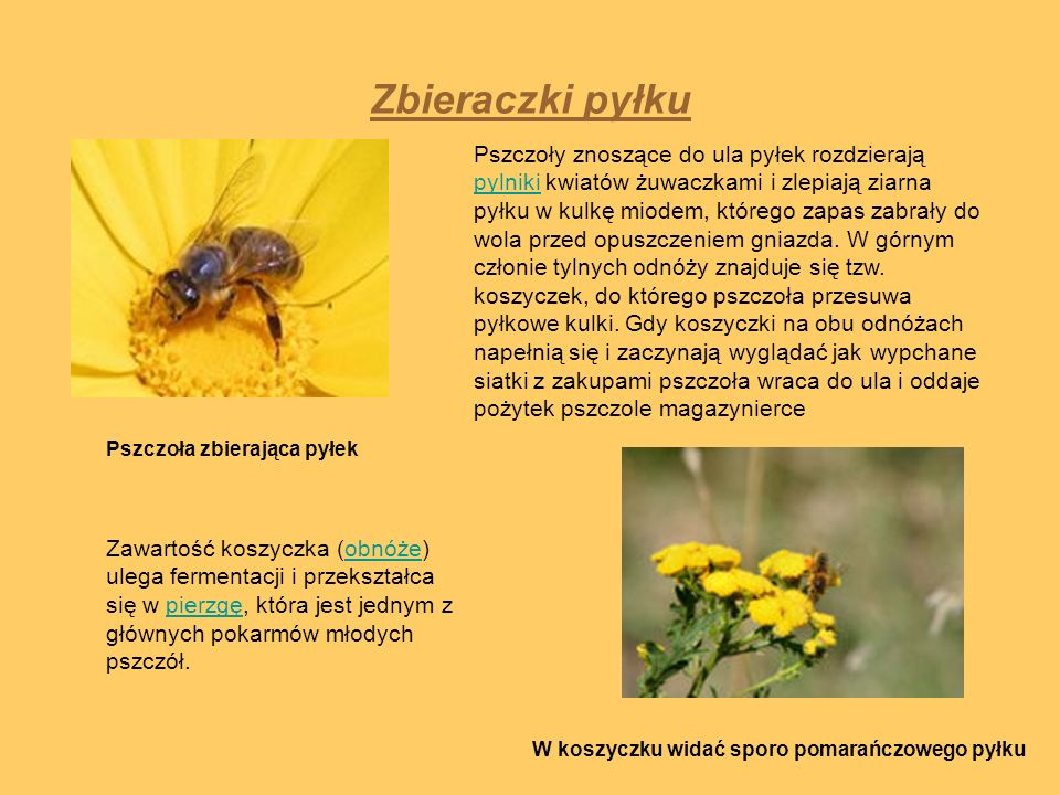 Zbieraczki pyłku