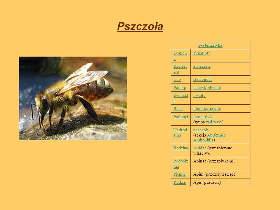 Pszczoła Systematyka Domena eukarioty Królestwo zwierzęta Typ