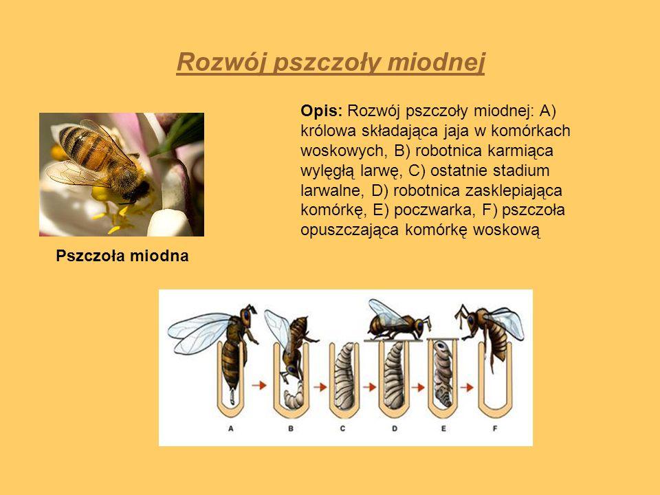 Rozwój pszczoły miodnej