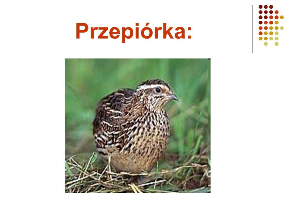 Przepiórka:
