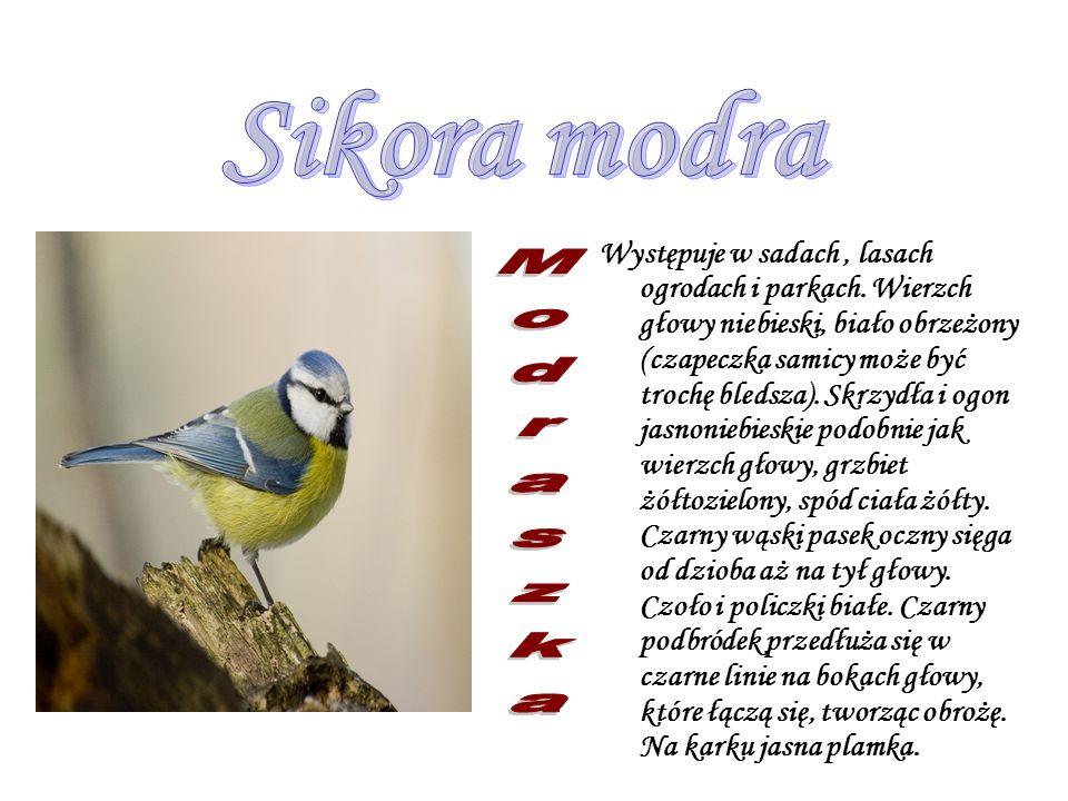 Sikora modra Modraszka