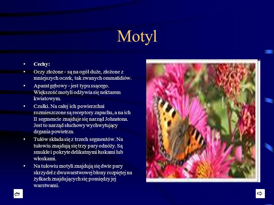 Motyl Cechy: Oczy złożone - są na ogół duże, złożone z mniejszych oczek, tak zwanych ommatidiów.