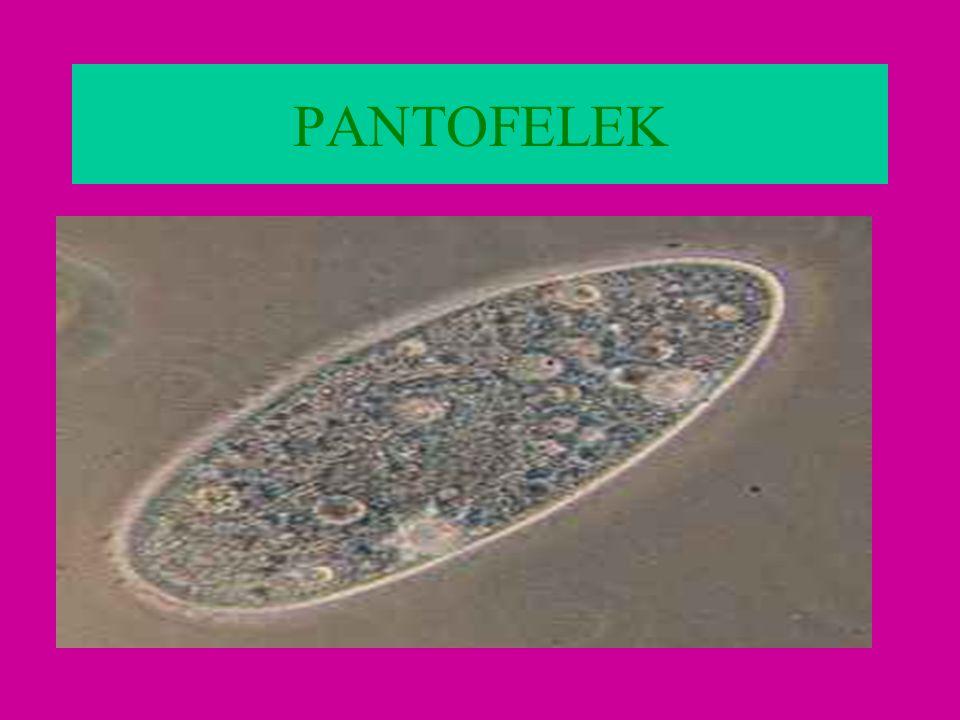 PANTOFELEK
