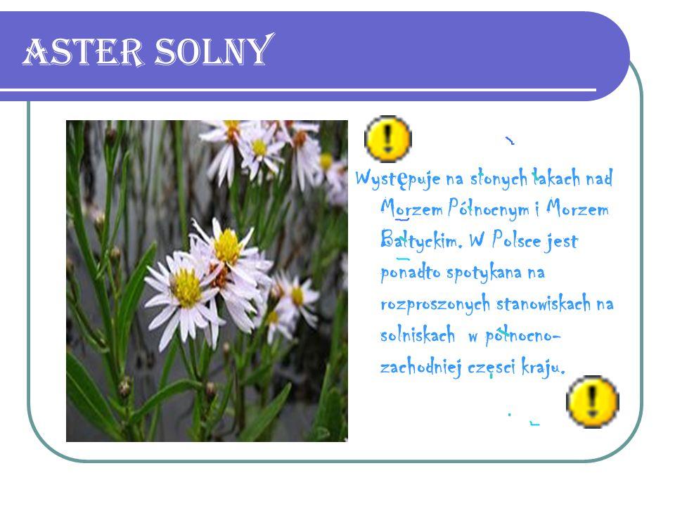 Aster Solny