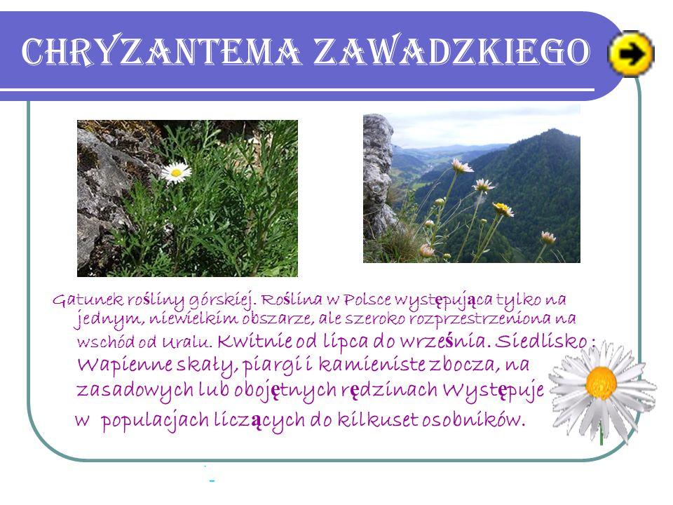 Chryzantema Zawadzkiego