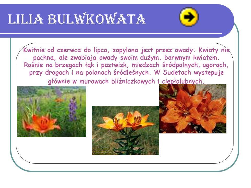 Lilia bulwkowata