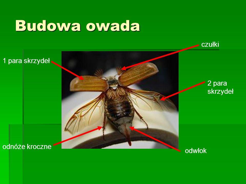 Budowa owada czułki 1 para skrzydeł 2 para skrzydeł odnóże kroczne