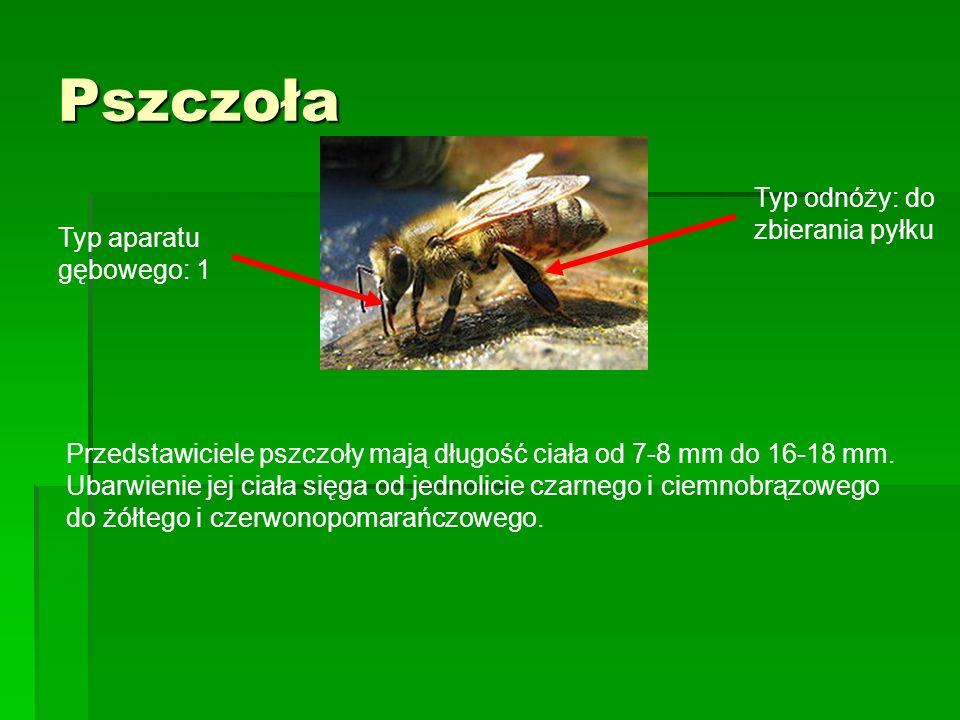Pszczoła Typ odnóży: do zbierania pyłku Typ aparatu gębowego: 1