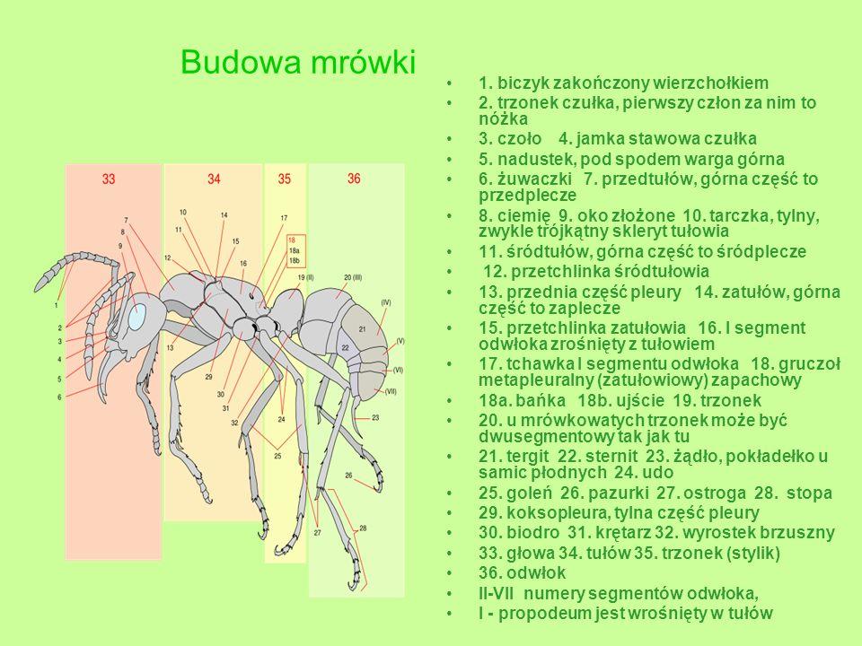 Budowa mrówki 1. biczyk zakończony wierzchołkiem