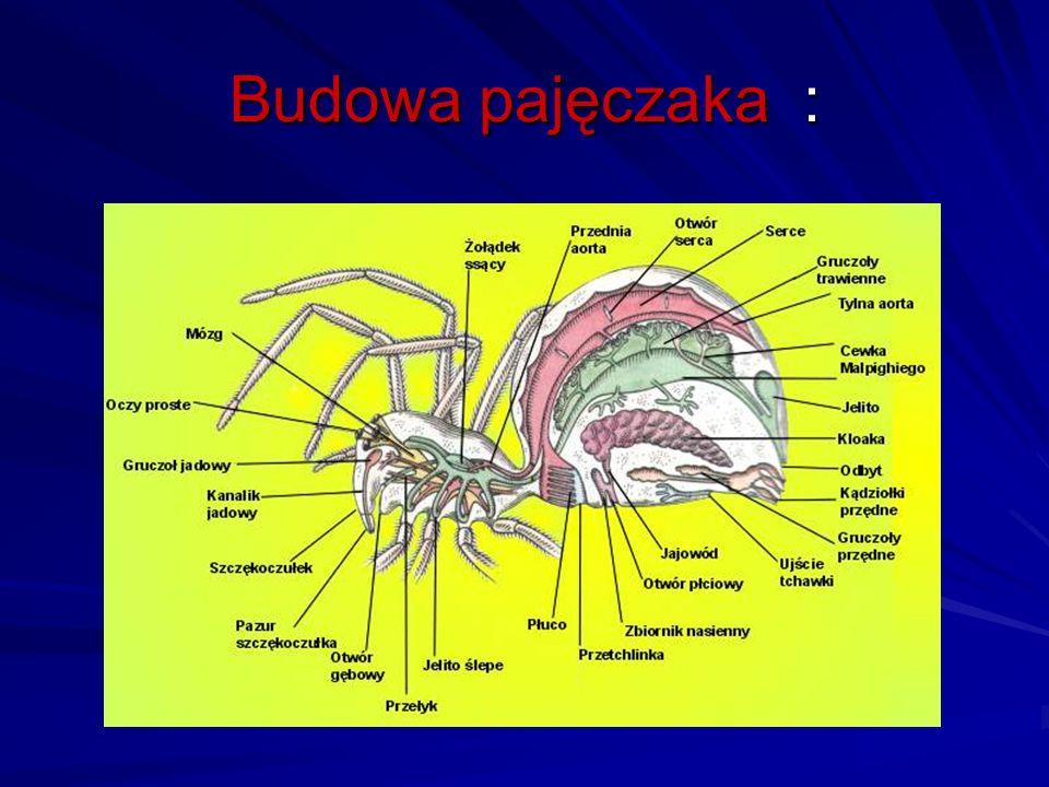 Budowa pajęczaka :