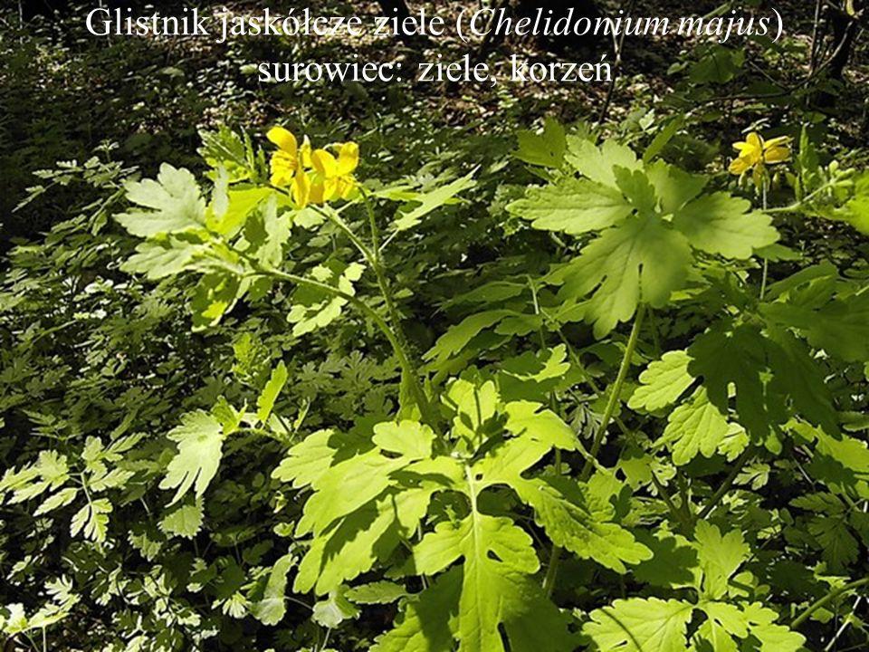 Glistnik jaskółcze ziele (Chelidonium majus) surowiec: ziele, korzeń