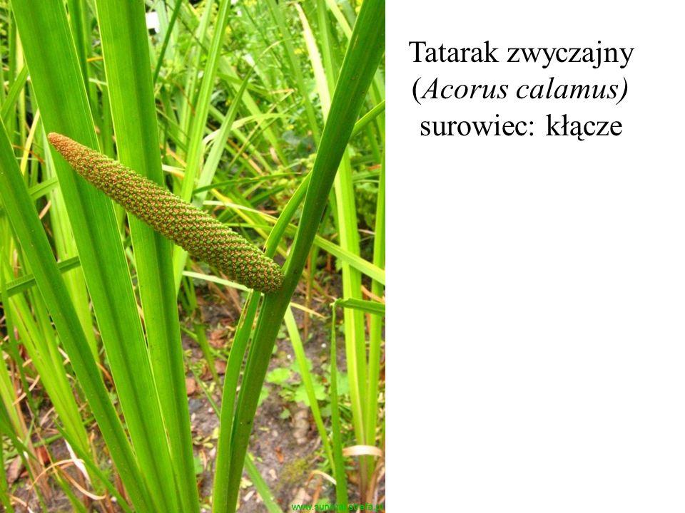 Tatarak zwyczajny (Acorus calamus) surowiec: kłącze
